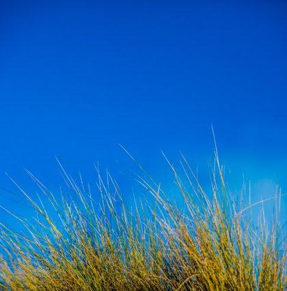 Beach tussock